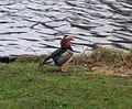 Mandarin Duck, Aix galericulata - Flickr - GregTheBusker.jpg