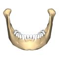 Mandible close-up anterior.png