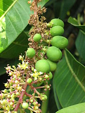 Closeup of a twig of the Alphonso mango tree carrying flowers and immature fruit, Deogad (or Devgad), Maharashtra, Valsad-Gujarat, India