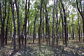 Mangrove Forest in Barguna, Bangladesh.jpg