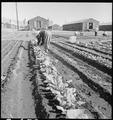 """Manzanar Relocation Center, Manzanar, California. Evacuee in her """"hobby garden"""" which rates highest . . . - NARA - 537976.tif"""