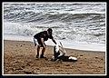 Margate Pelican Rescue- Hammy-01 (6804554934).jpg