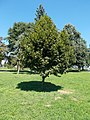 Marl twin town memorial tree, Vizslapark, 2020 Zalaegerszeg.jpg