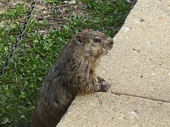 Marmota monax Groundhog taking a break