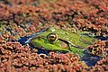 Marsh Frog (Pelophylax ridibundus) (8709881975).jpg