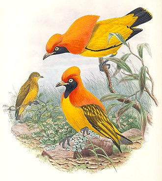 Bowerbird - Two males displaying to a female masked bowerbird, Sericulus aureus, illustrated by John Gould (1804–1881)