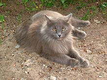 Фото сибирской кошки.