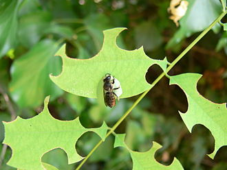 A leafcutting bee, Megachile rotundata, cutting circles from acacia leaves Megachile rotundata.JPG