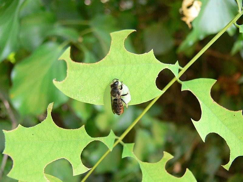 File:Megachile rotundata.JPG