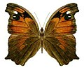 Melanitis leda bankia (cropped).jpg