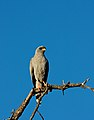 Melierax metabates -Kapama Game Reserve, South Africa-8.jpg