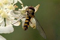 Meliscaeva.auricollis.-.lindsey.jpg