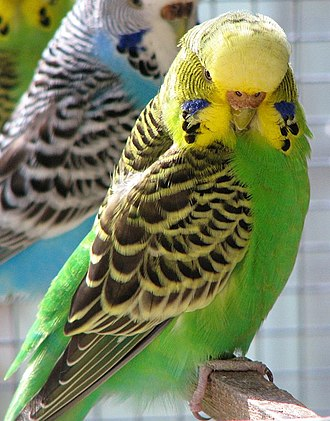 Biological pigment - The budgerigar gets its yellow color from a psittacofulvin pigment and its green color from a combination of the same yellow pigment and blue structural color. The blue and white bird in the background lacks the yellow pigment. The dark markings on both birds are due to the black pigment eumelanin.