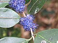Memecylon umbellatum flowers at Peravoor (3).jpg