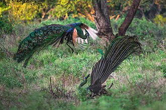 Green peafowl - Fighting peacocks in Baluran National Park, Indonesia