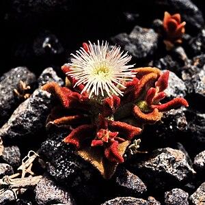 Mesembryanthemum - Image: Mesembryanthemum crystallinum 1983 2