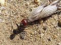 Messor Species (32725353916).jpg