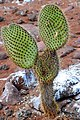 Micky mouse Opuntia Cactus (4884595263).jpg