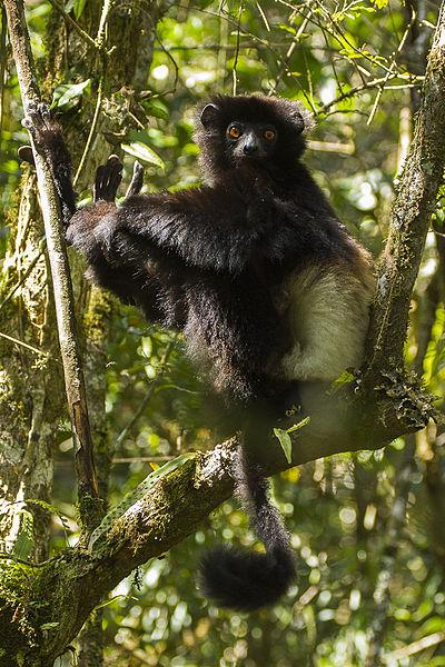 File:Milne-Edwards Sifaca - Ranomafana - Madagascar MG 1383 (15286242645).jpg