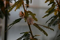Mimosa-polycarpa-flowers