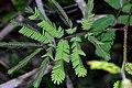 Mimosa selloi.jpg