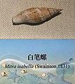Mitra isabella IMG 5440 Beijing Museum of Natural History - Natural History Museum of Guangxi.jpg