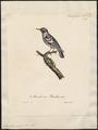 Mniotilta varia - 1825-1834 - Print - Iconographia Zoologica - Special Collections University of Amsterdam - UBA01 IZ16300003.tif