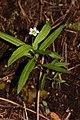 Moehringia macrophylla 2391.JPG