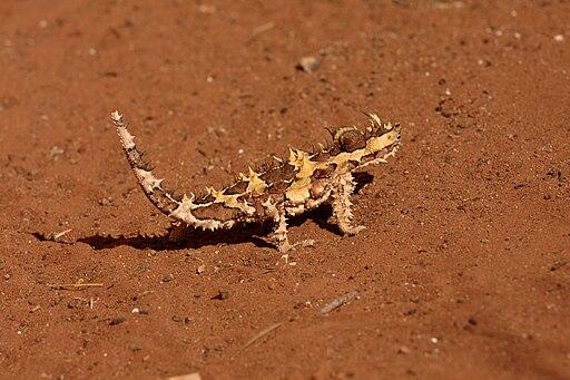 Moloch horridus -Australia-8