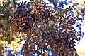 Monarch-butterflies-pacific-grove.jpg