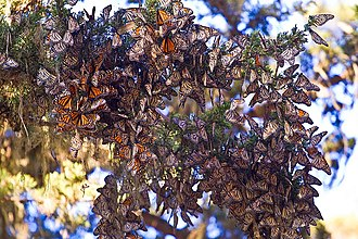 Monarch butterfly migration - roosting, overwintering butterflies in Pacific Grove, California