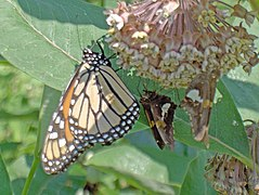 Monarch & Silver Spotted Skippers on Milkweed.jpg