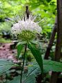 Monarda clinopodia - White Bergamot.jpg