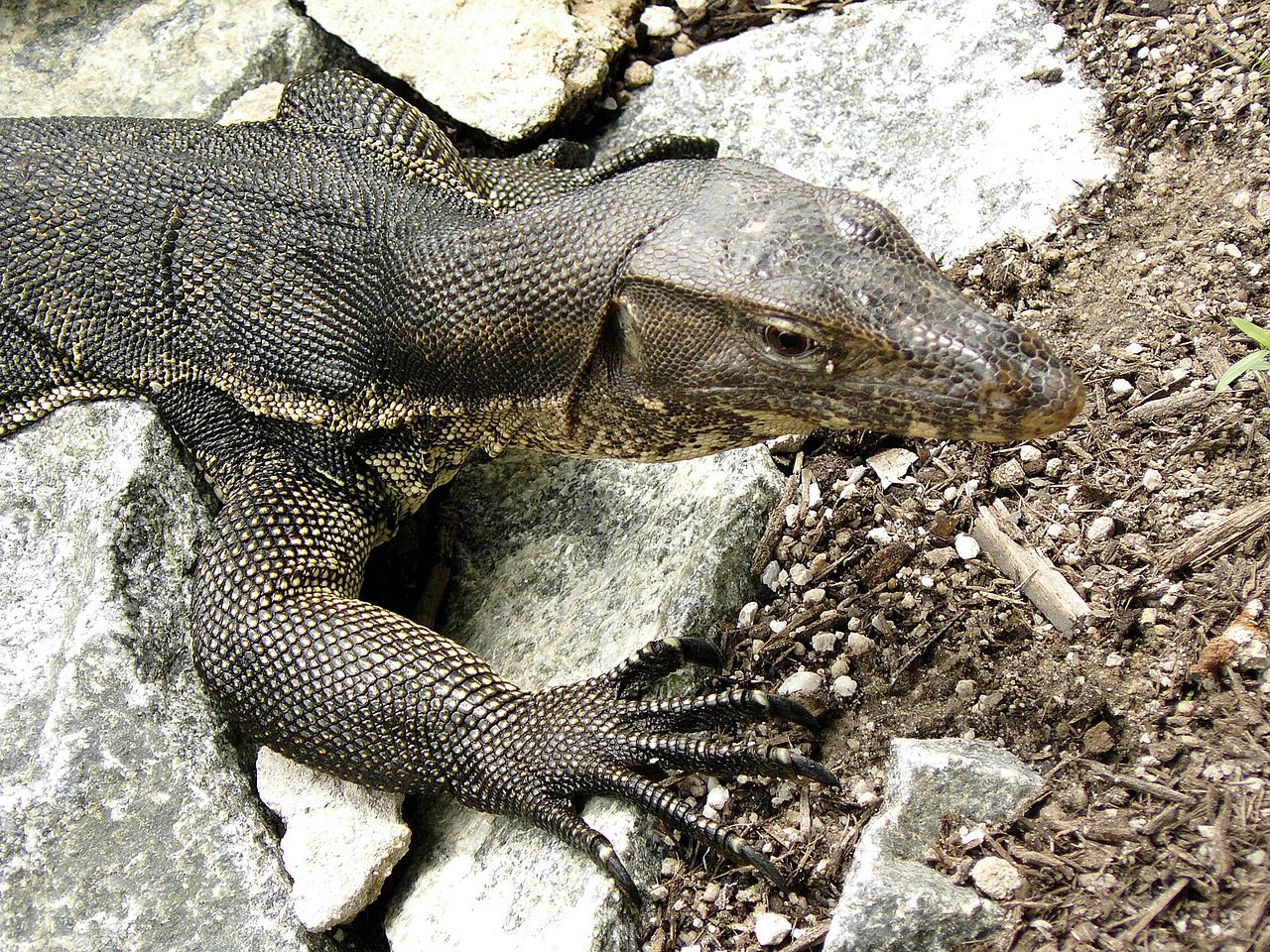 File:Monitor Lizard, Sungei Buloh Wetlands Reserve ...