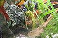 Monocirrhus polyacanthus 02.jpg
