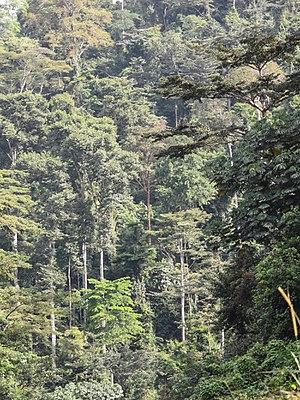 Ziama Massif - Montane rainforest near to Sérédou (Northern limit of Ziama Massif)