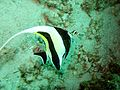 Moorish Idol 3 (5478043801).jpg