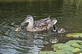 More Baby Ducks (48369446071).jpg
