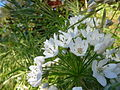 More white flowers fl.jpg