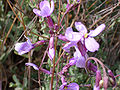 Moricandia arvensis Flowers 2010-3-14 DehesaBoyaldePuertollano.jpg