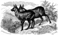 Moschus moschiferus2.png