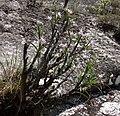 Mount Ribaue - Xerophyta sp. (10509942405).jpg