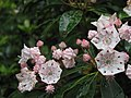 Mountain laurel blooms (7651416248).jpg
