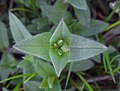 Mouse-ear Chickweed (49195217412).jpg