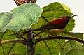 Mrs. Gould's Sunbird Aethopyga gouldiae Male by Raju Kasambe DSC 1567 (10).jpg