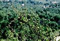 Muehlenbeckia hastulata vine (8672545684).jpg
