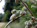 Mugwort (Artemisia vulgaris) (28599546893).jpg