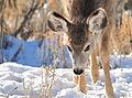 Mule Deer Fawn on Winter Range in SW Wyoming (23464554779).jpg