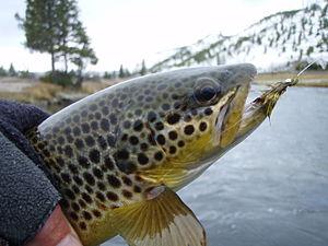 e1b7a86cc2e List of fishes of Yellowstone National Park - Wikipedia