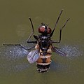 Musca domestica mit cf Entomophthora muscae 4418.jpg